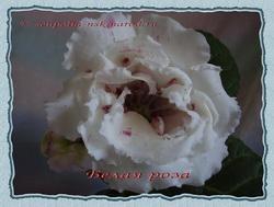 Глоксиния - Белая Роза