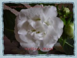 Глоксиния - White Bird